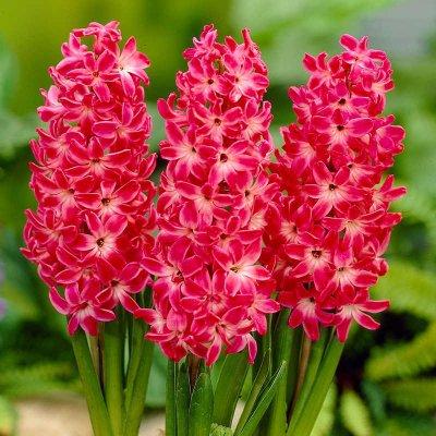 Φυτώριο Παράδεισος - Υάκινθος