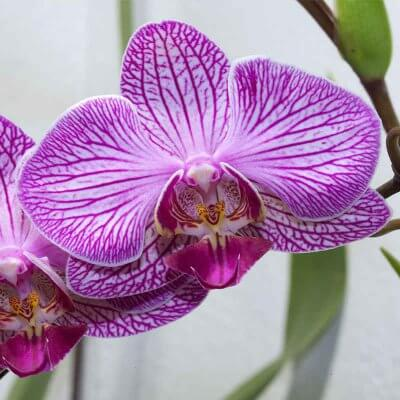 Φυτώριο Παράδεισος - Ορχιδέα Φαλαίνοψις